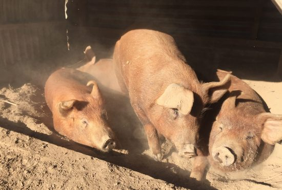 Red pigs in a dusty shelter